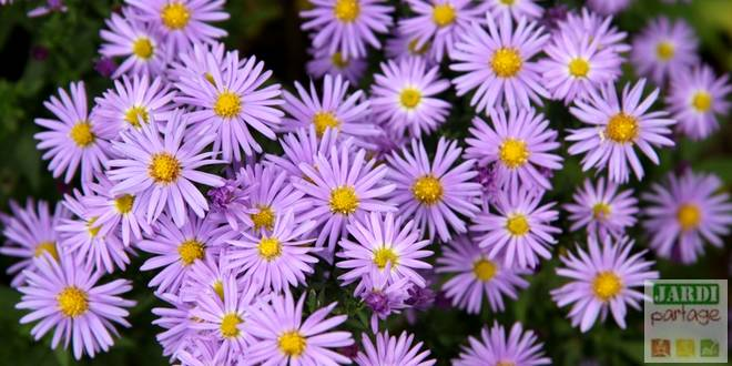 aster fleur vivace