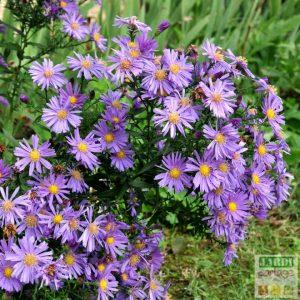 aster fleurs mauves