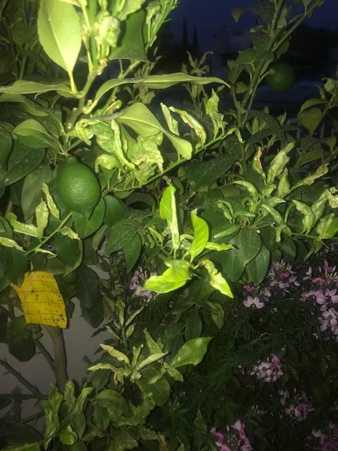 jeunes feuilles du citronnier se recroquevillent