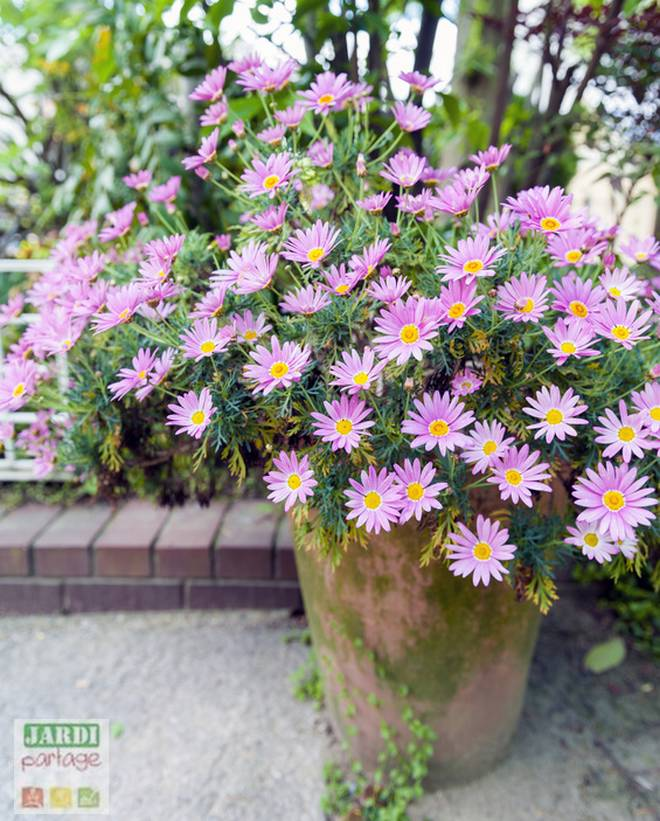 planter des asters