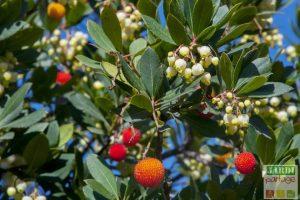 Arbousier fruit