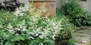 astilbe blanche
