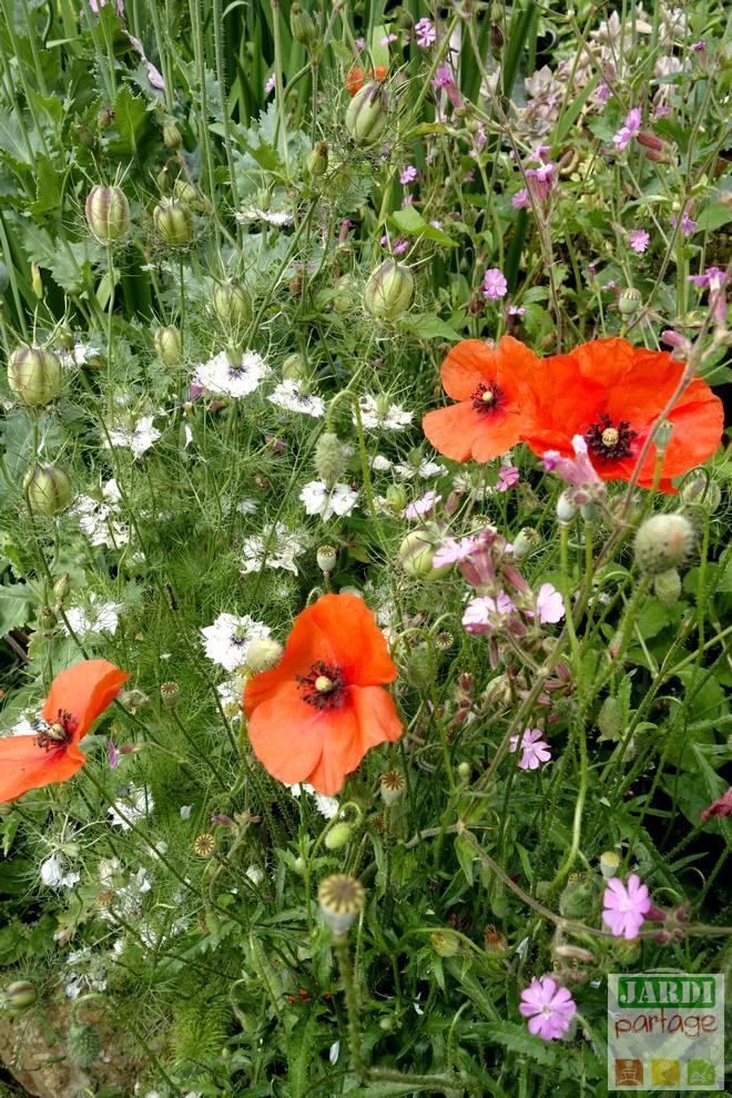 pavot fleur rouge