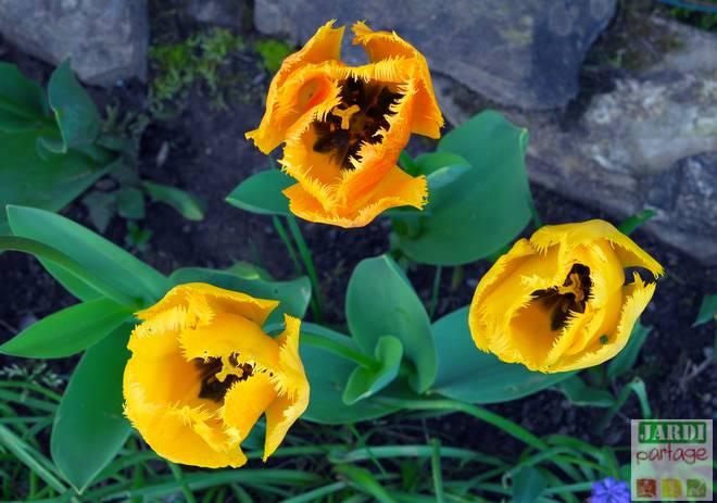 10 secrets pour planter et r ussir les tulipes jardipartage. Black Bedroom Furniture Sets. Home Design Ideas