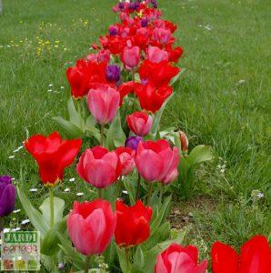 planter les tulipes au printemps