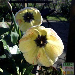 quand planter les bulbes de tulipes