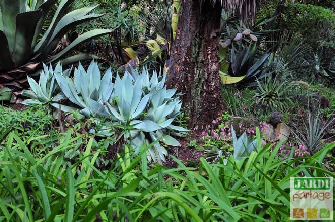 agave attenuata entretien