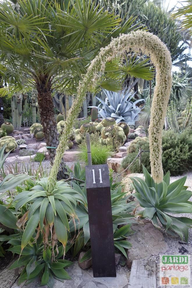 agave attenuata floraison
