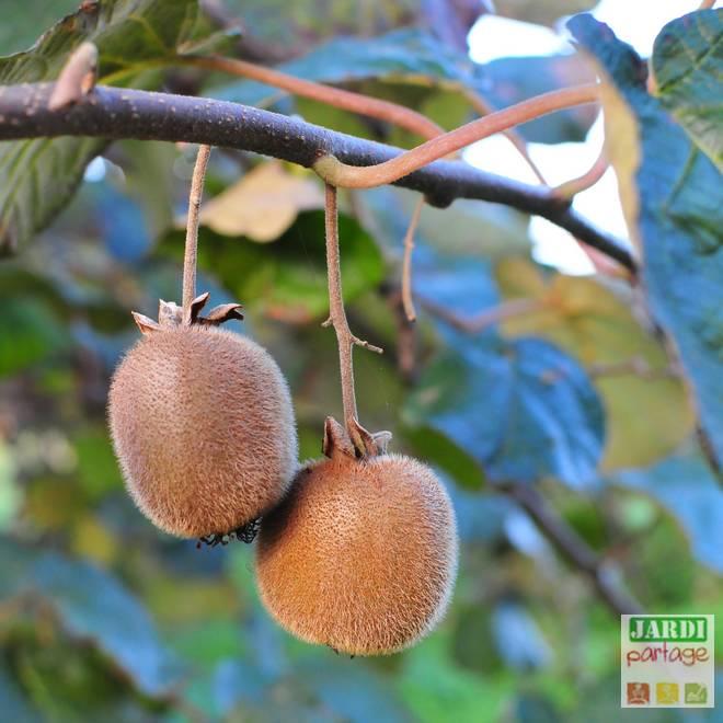 arbre a kiwi male et femelle