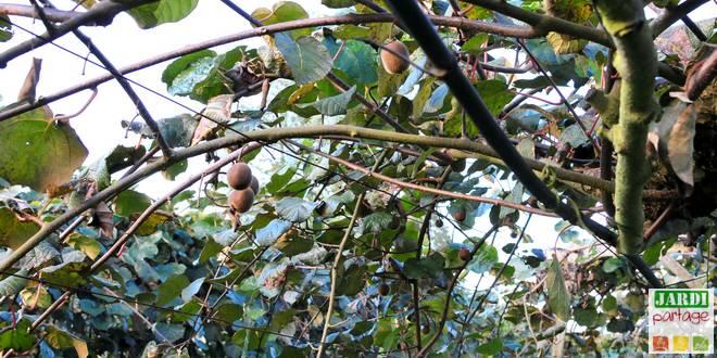 arbre a kiwi