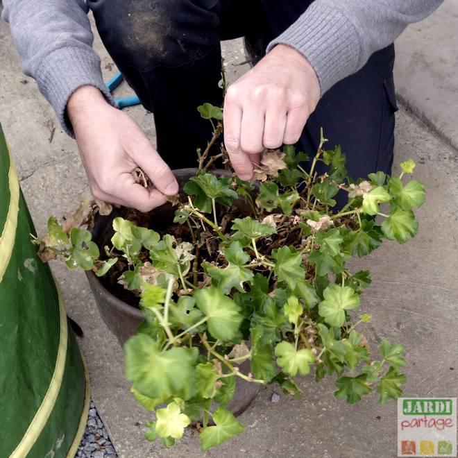 geranium a conserver l hiver
