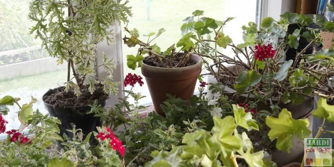 geranium hiver