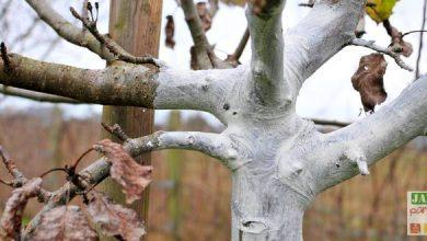 blanc arboricole