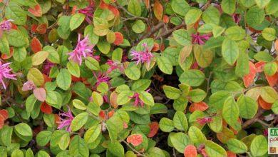 Photo of Loropétale de Chine, l'arbuste à fleurs araignées !