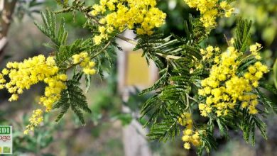 Photo of Le mimosa : un hiver en habit d'or