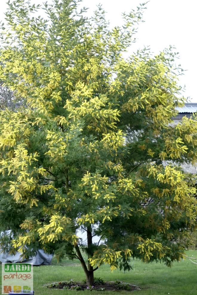 planter un mimosa