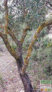 taches jaunes tronc olivier