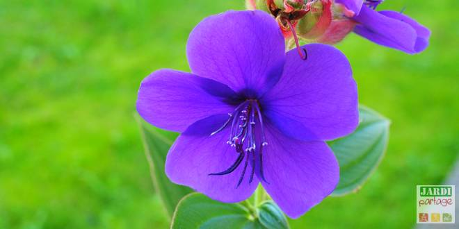 Photo of Tibouchina urvilleana, tibouchine d'Urville