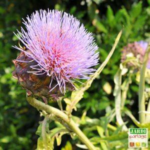 artichaut floraison