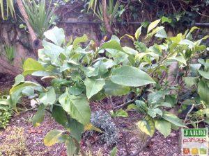 citronnier feuilles trouees