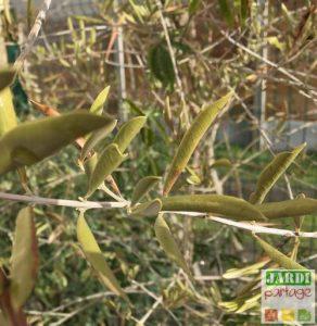 feuilles olivier enroulees