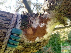filaments blancs sur tronc olivier