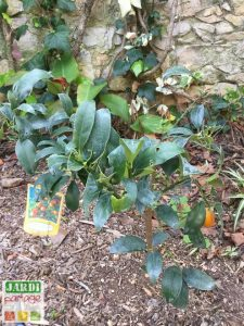 kumquat feuilles trouees