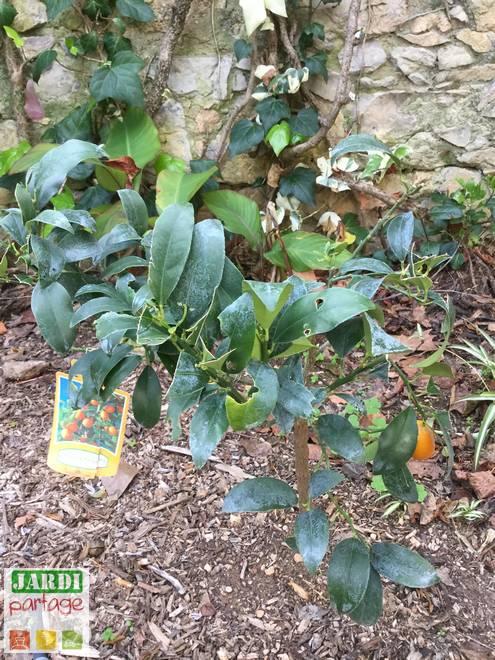 kumquat feuilles avec des trous