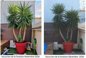 yucca feuilles molles
