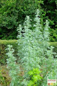 absinthe plante medicinale