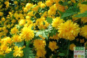 arbuste a fleurs jaunes corete du japon