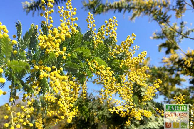 arbuste fleur jaune mimosa