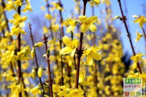 arbuste jaune forsythia