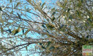 bout des feuilles de olivier sec