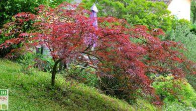 Photo de Érable du Japon: quel entretien ?