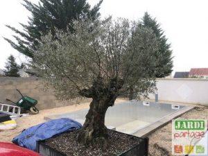 olivier feuilles tombent en hiver