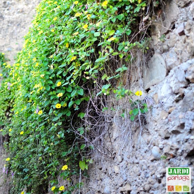 plante grimpante sol sec