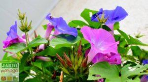 plante vivace grimpante pour le soleil