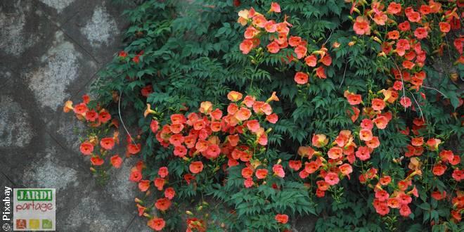 plantes grimpantes soleil