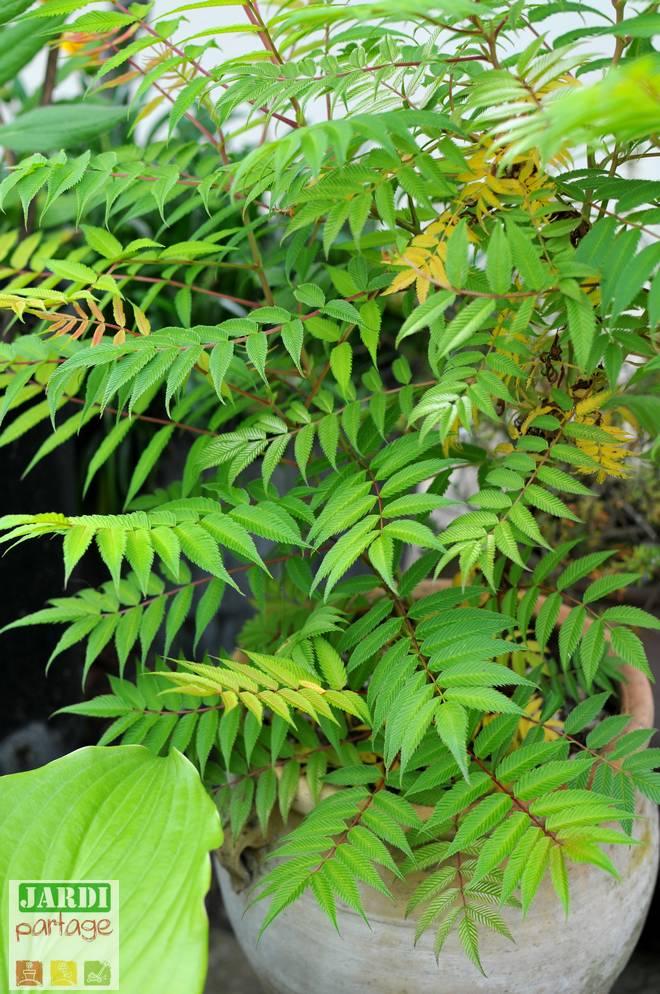 sorbaria sorbifolia envahissant