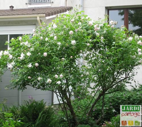 taille un vieux rosier buisson