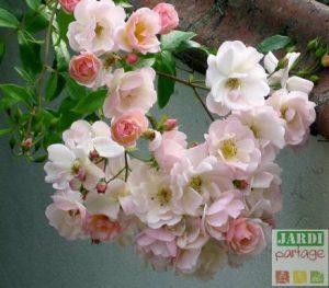 tailler un vieux rosier buisson
