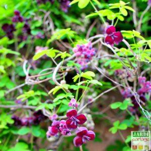 akebie a cinq feuilles