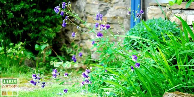 ancolie fleur