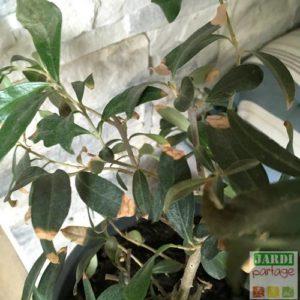 bout des feuilles de olivier marron