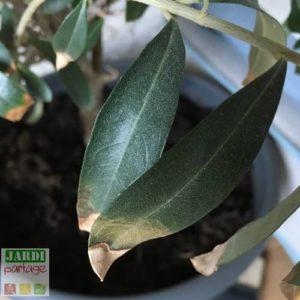 bout des feuilles de olivier seches