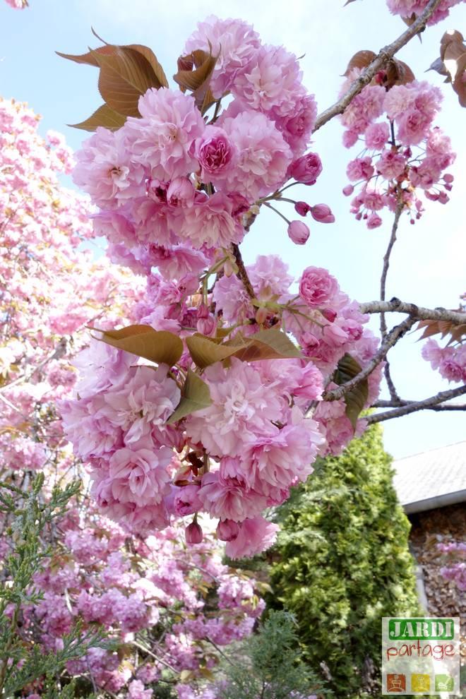 cerisier a fleurs du japon