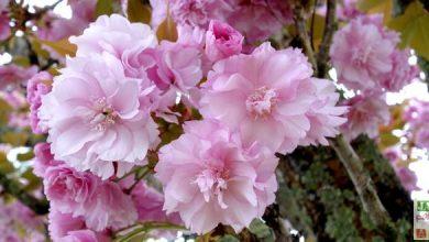 Photo de Les cerisiers du Japon: une somptueuse floraison !