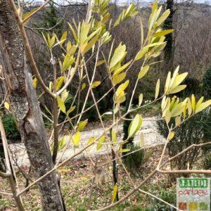 chlorose ferrique olivier