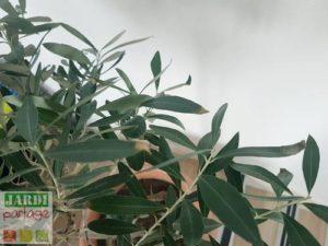 olivier avec des carences